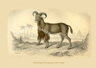 Bearded Argali (Ovis tragelaphus) Native of Egypt
